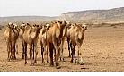 Al-Qaida offers livestock for Obama, Clinton.jpg